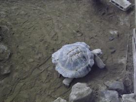 草津熱帯圏 ケヅメリクガメ
