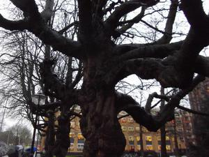 ユトレヒトの木