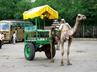 ラクダのタクシー