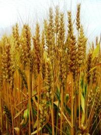 麦刈り体験! ~ 三浦の小麦プロジェクト ~