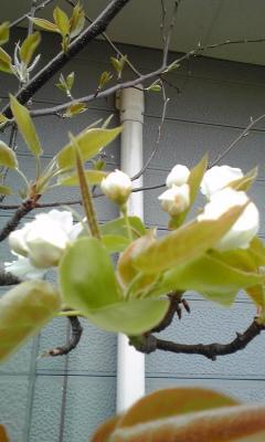 2011年の庭の桜