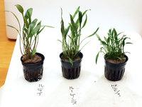 クリプトコリネ3種を植付け