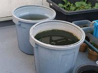 ミジンコにはドライイーストと、めだかの飼育水もね!