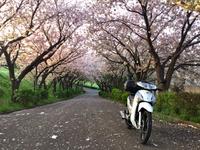 まだまだ桜が楽しめる水曜の朝