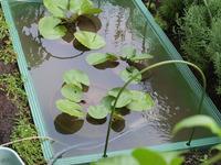 めだか池にヤゴ、数匹発見