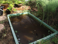 夏の汚いプラ舟池、お掃除しました