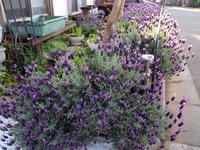 庭いっぱいのフレンチラベンダー