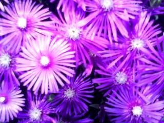 横須賀のピンクの花