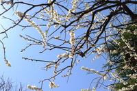 梅・・・桜・・・
