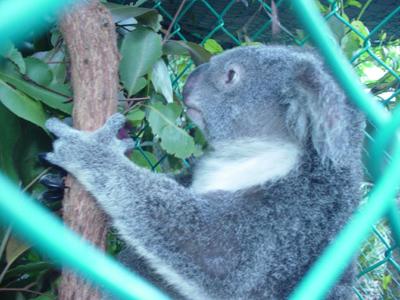 オーストラリア_コアラ